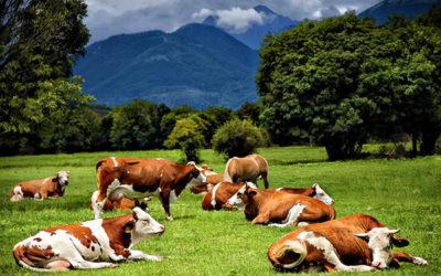 La mucca Virginia