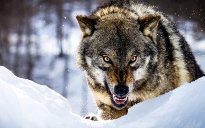 la paura del lupo